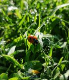 Lady bug in center with green grassy background stock photo