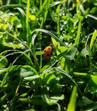 Lady bug with green grassy background royalty free stock image
