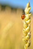 Lady bug. Climbing an ear of wheat Royalty Free Stock Images