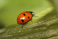 Lady bug Royalty Free Stock Photo