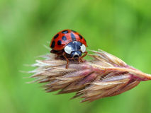 Lady bug. Close up of a lady bug stock photos
