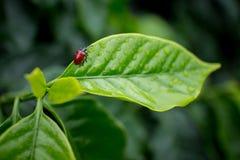 Lady bug of Coffee Plantation. Stock Image