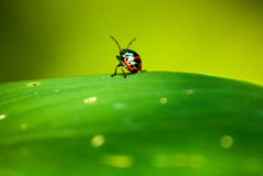 The Lady Bug Royalty Free Stock Photo
