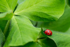 Lady bug Stock Image