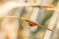 Lady Bug Crawling on Under Side of Plant Leaf. Close Up Profile of Red Lady Bug Crawling on Under Side of Dried Plant Leaf with Out of Focus Background stock photos