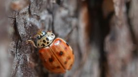 Lady Bug creeps along the bark of a tree, close-up.  stock video footage