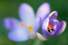 Lady bug on Crocus flower Royalty Free Stock Photography