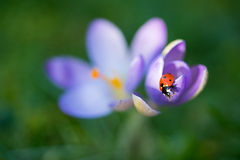 Lady bug on Crocus flower, spring background. Lady bug on purple Crocus flower, spring background Royalty Free Stock Photo