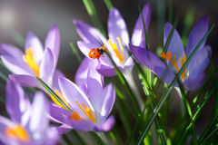 Lady bug on Crocus flowers, spring background Stock Images
