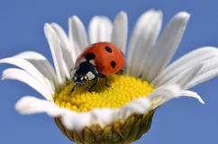 Lady bug on daisy Royalty Free Stock Photos