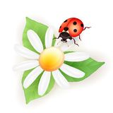 Lady bug with daisy Royalty Free Stock Images