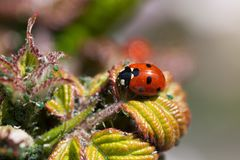 Lady bug eating plant lice Stock Images