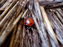 Lady Bug. Enjoying the autumn sunshine Royalty Free Stock Photography