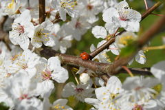 Lady bug. Enjoying the sun and the spring mirabelle flowers Royalty Free Stock Photography