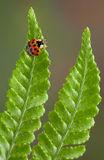 Lady bug on fern Stock Photography