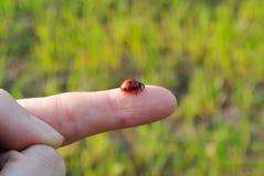 Lady Bug on a finger. Ladybug macro on a finger Stock Image