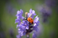 Lady bug on flower Stock Photos
