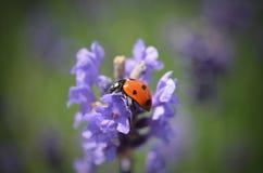 Lady bug on flower Stock Photos