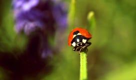 Lady bug on flower Royalty Free Stock Photos