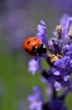 Lady bug on flower Stock Photography