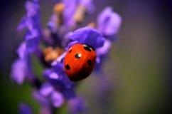 Lady bug on flower Royalty Free Stock Image