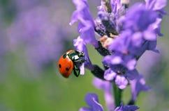 Lady bug on flower Stock Image