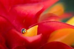 Lady Bug On Flower Petal. Close up macro image of lady bug on a red and yellow flower petal Royalty Free Stock Image