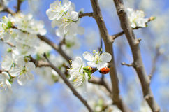 lady bug on flowering branch Stock Images