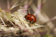Lady Bug. Found this lady bug lurking about on top of a large milk thistle. Highly visible with her orange red body and black spots Royalty Free Stock Photo