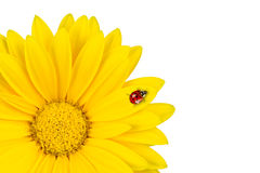 Lady bug on gerbera blossom Royalty Free Stock Image