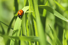 Lady Bug In The Grass. Lady bug on a blade of grass royalty free stock photography