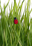 Lady bug on a grass leaf Stock Image