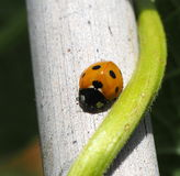 Lady Bug And Green Bean Vine Royalty Free Stock Image
