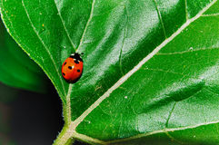 Lady bug Stock Images