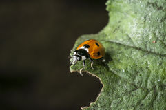 Lady bug. On a green leaf Stock Image