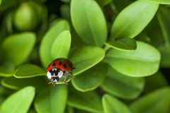 Lady bug. On a green leaf Stock Images