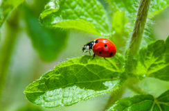 Lady bug. On green leaf royalty free stock photography