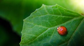 Lady bug on green leaf. With green background Stock Photos