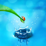 Lady bug on green leaf and water. Splash Stock Image