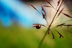 Lady Bug Hanging on Grass Seed. Lady Bug Hanging on Red Grass Seed in Field in the Day royalty free stock photography