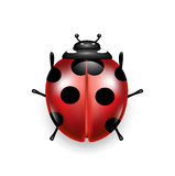 Lady bug isolated on white Stock Images