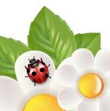 Lady bug isolated on white Stock Photos