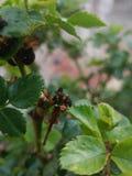 Lady bug larvae Stock Images