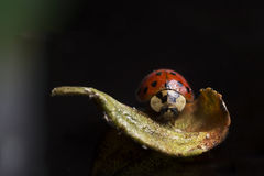 Lady Bug on Leaf  on Black Background. A lady bug on a leaf stalking its aphid prey Royalty Free Stock Photography