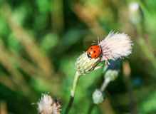 Lady bug on a leaf. Close up image of a lady bug on a leaf in a meadow Stock Photo