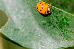 Lady bug on a leaf Stock Photos