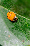 Lady bug on a leaf Stock Photography