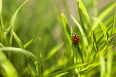 Lady bug macro Royalty Free Stock Photo