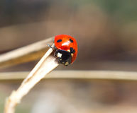 Lady bug. Macro closeup Stock Image