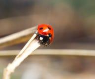 Lady bug. Macro closeup Stock Image